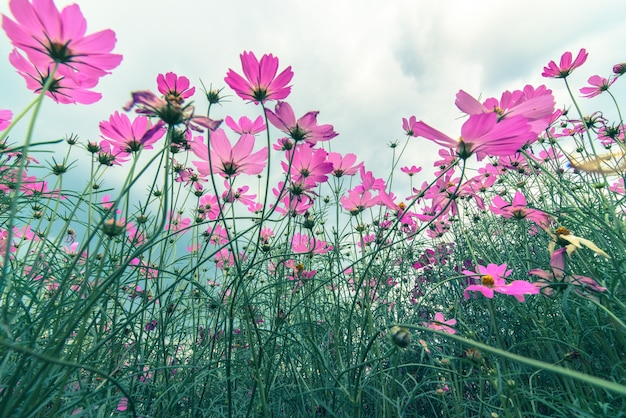 Pink cosmos flowers garden soft focus and retro film photo pink cosmos flowers garden soft focus and retro film premium photo mightylinksfo Image collections