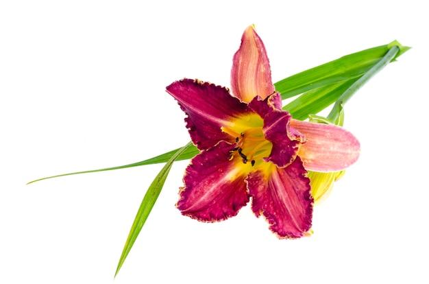 Pink daylily flower garden isolated on white Premium Photo