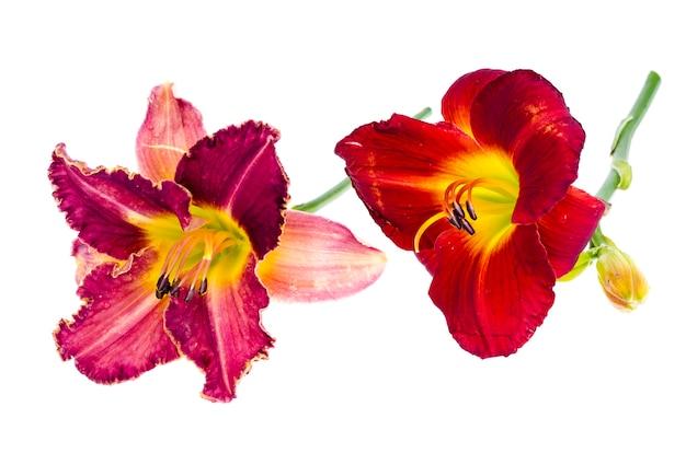 Pink daylily flower garden Premium Photo
