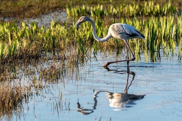 アンプルダンの沼地の自然公園の夜明けのピンクのフラミンゴ。 Premium写真