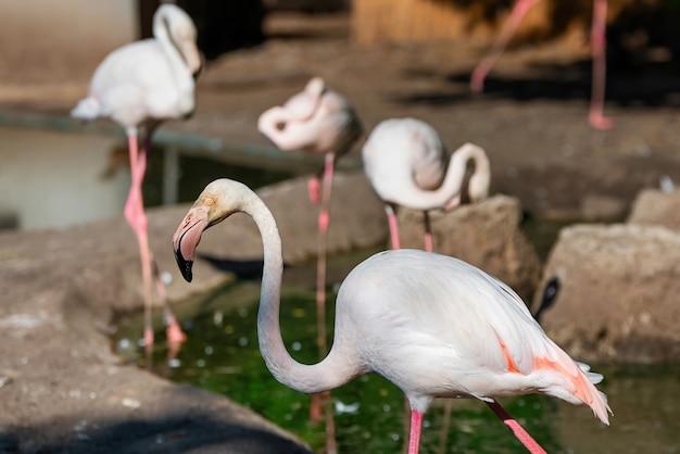 動物園のピンクのフラミンゴ Premium写真