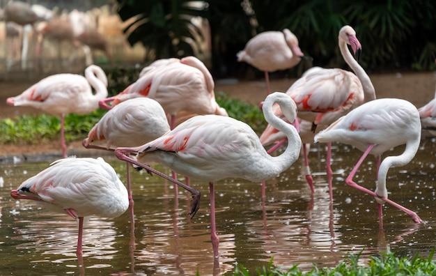 ブラジルの国立鳥類アベス公園にあるピンクのフラミンゴ。 Premium写真