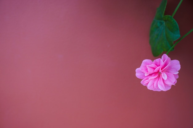Pink flower at pink background, it looks be gentle. Premium Photo