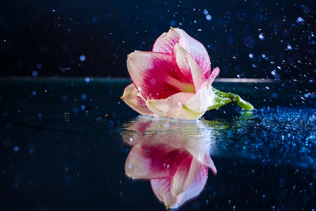Pink flower with water drops over dark blue wall Free Photo
