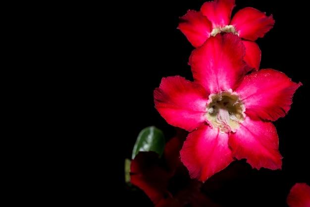 Pink flowers, black background Photo | Premium Download