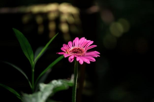 Pink flowers on a black scene Premium Photo