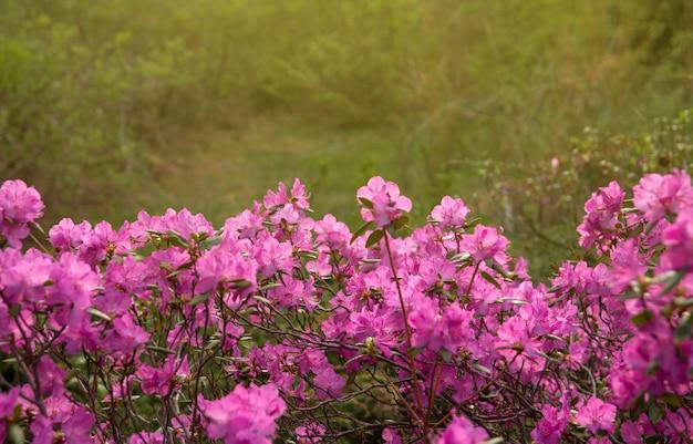 シベリアのシャクナゲコピースペースのピンクの花。シャクナゲledebourii。アルタイシャクナゲの春開花。 Premium写真