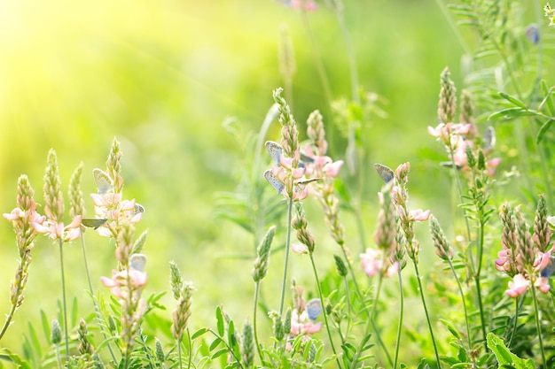 Розовые цветы на зеленом фоне с голубыми бабочками, естественный красивый фон, с мягким желтым солнцем, за светом Premium Фотографии