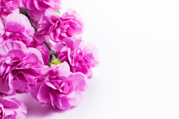 Pink flowers with white background Free Photo