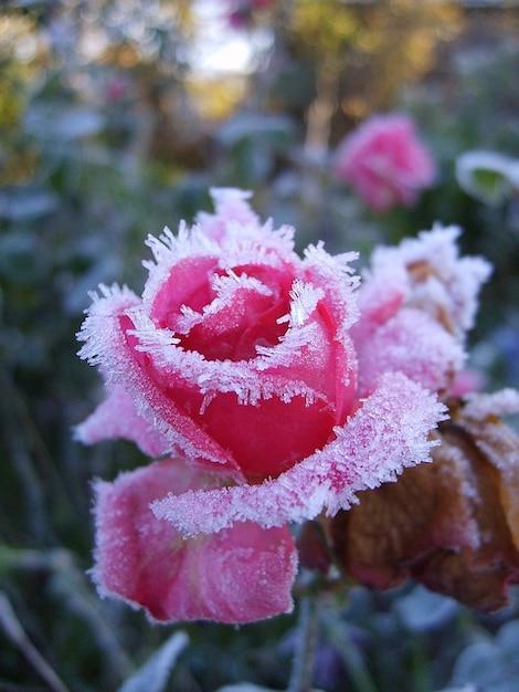 pink frost cold roses winter leann flower zimojj photo. Black Bedroom Furniture Sets. Home Design Ideas