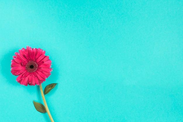 Pink gerbera flower on blue table Free Photo