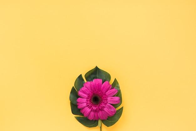 Pink gerbera flower on green leaf Free Photo