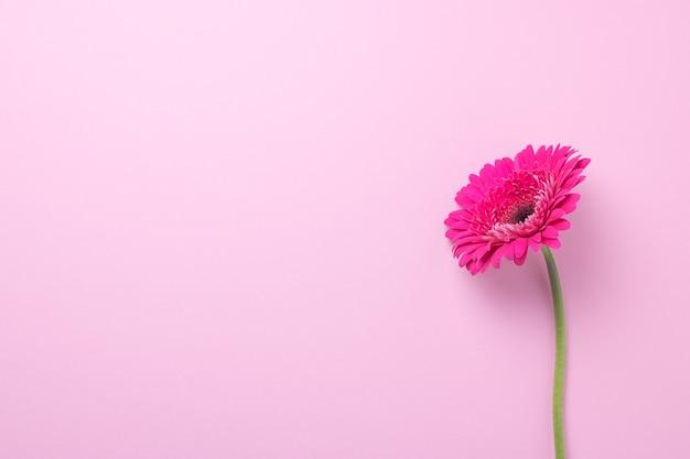ピンクの背景にピンクのガーベラの花 Premium写真