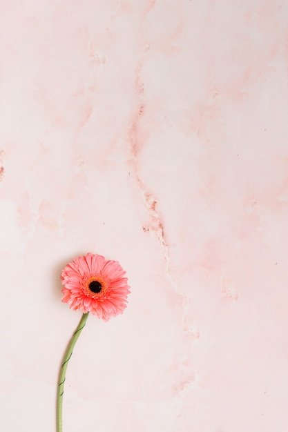 Pink gerbera flower on table Free Photo