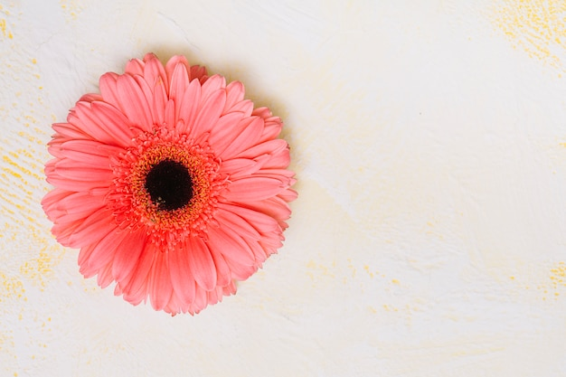Pink gerbera flower on white table Free Photo