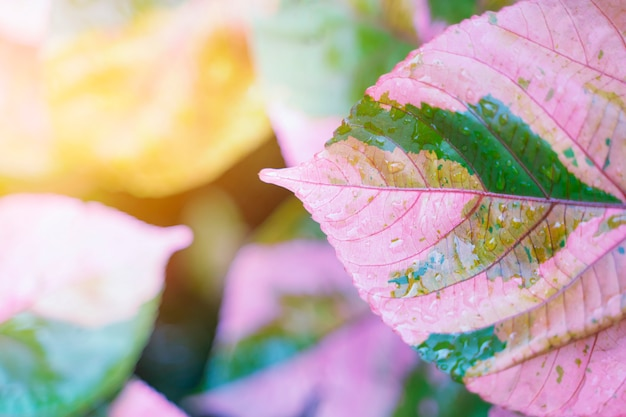 Pink leaf with rain drop and sunlight. fresh nature background. Premium Photo