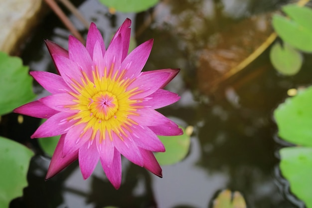 緑の葉と水に咲くピンクの蓮 Premium写真