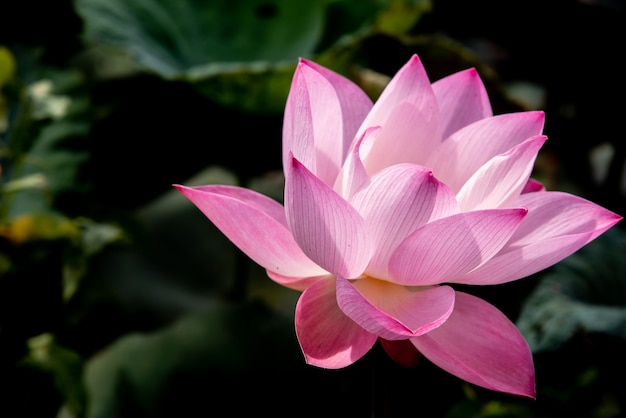 Pink lotus flower for religious and spiritual world of human life pink lotus flower for religious and spiritual world of human life premium photo mightylinksfo