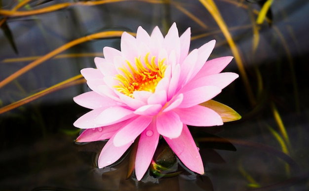 Pink lotus flower, water lily beautiful is blooming in the pond. Premium Photo