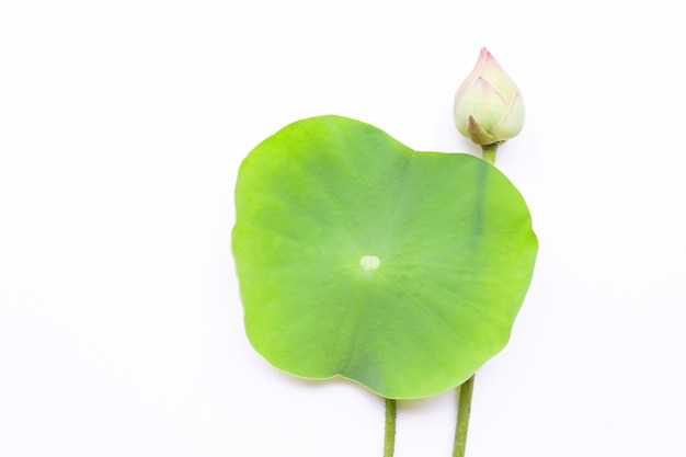 Pink Lotus Flower With Green Leaves On White Background Photo