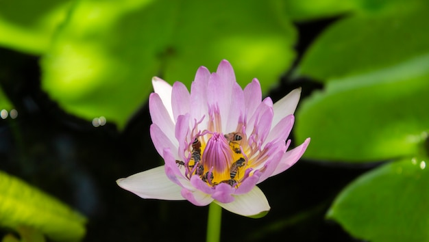 Pink lotus and green leaf lotus in the river Premium Photo