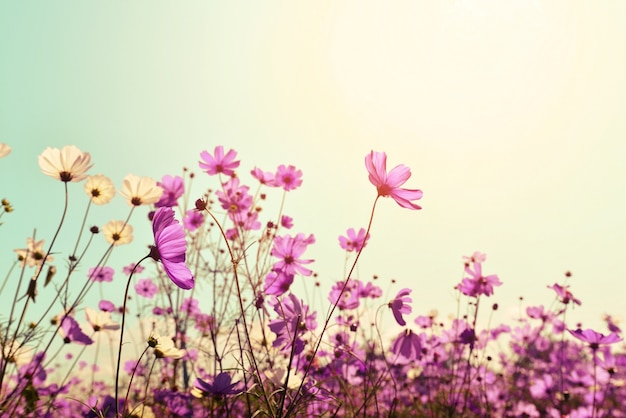 Pink of cosmos flower field sweet and love concept vintage nature pink of cosmos flower field sweet and love concept vintage nature background premium photo mightylinksfo