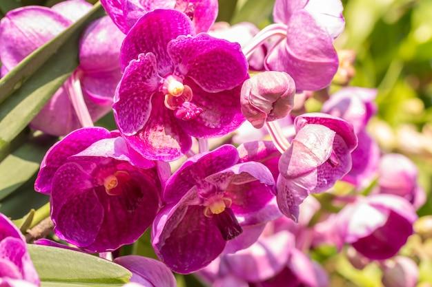 ピンクの蘭、バンダ、水滴、庭に咲く、明るい日光が背景をぼかす、柔らかくぼやけたスタイル。 Premium写真