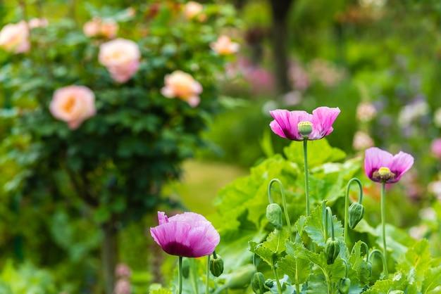 晴れた日の夏の庭のピンクのポピー。横ショット Premium写真