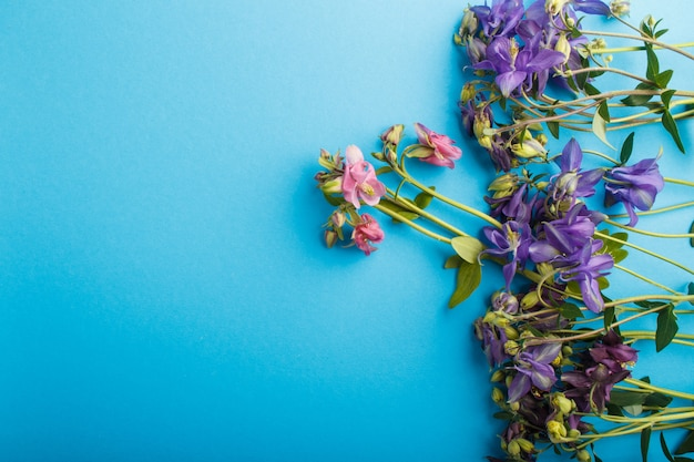 Pink and purple columbine flowers  on pastel blue. Premium Photo