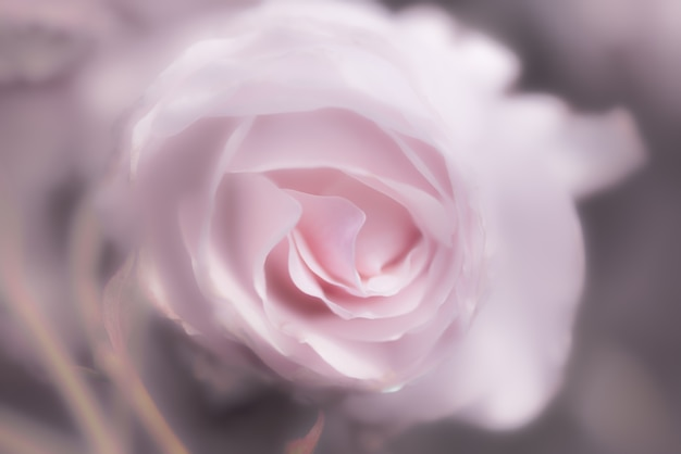 Pink rose as background Free Photo