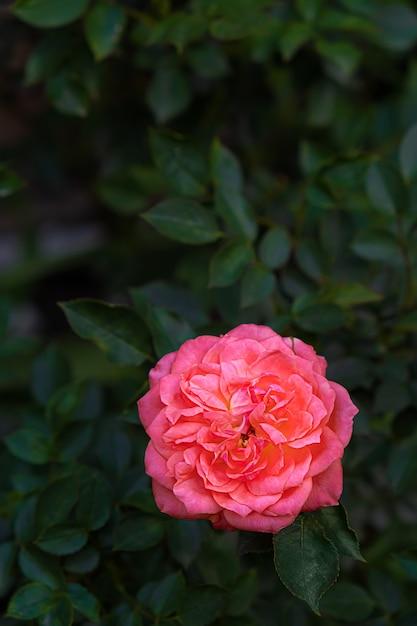 緑にピンクのバラの咲く花の葉の背景 無料写真