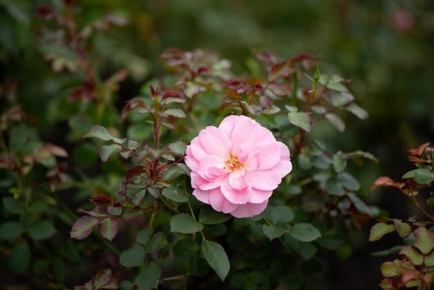 Розовая роза цветет в саду Premium Фотографии
