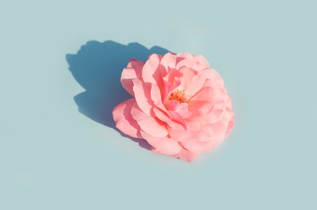 Pink rose on a blue Premium Photo