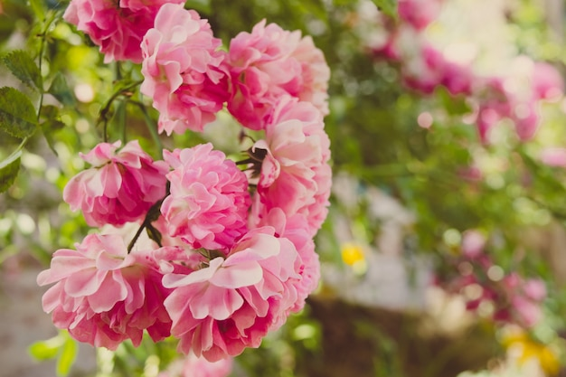 Розовая роза крупным планом в саду весной Premium Фотографии