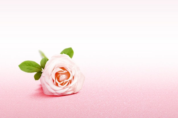 Pink rose on a pink background Premium Photo