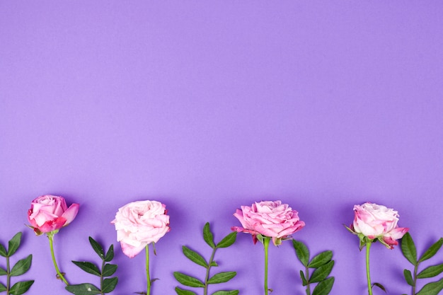 Pink roses arrange on purple background in a row Free Photo