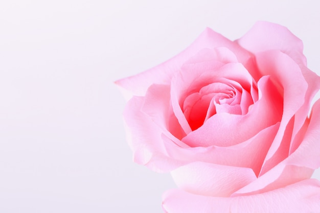 Pink roses on a light background Premium Photo