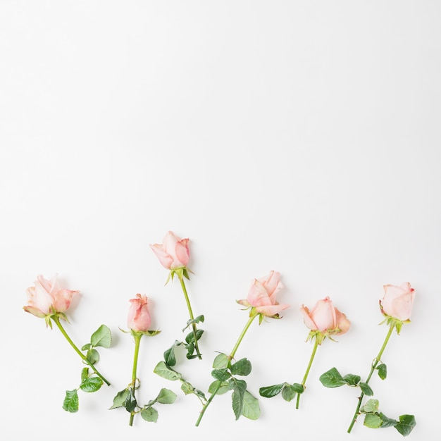 Pink roses on white background Free Photo