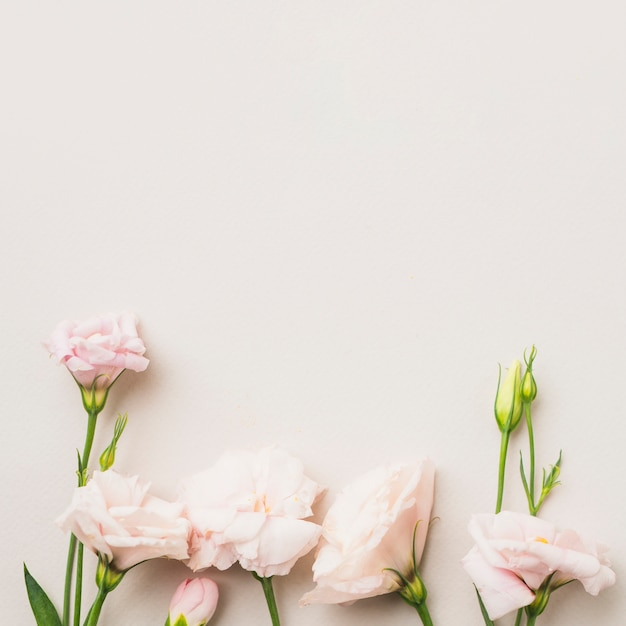 Pink roses on white Free Photo