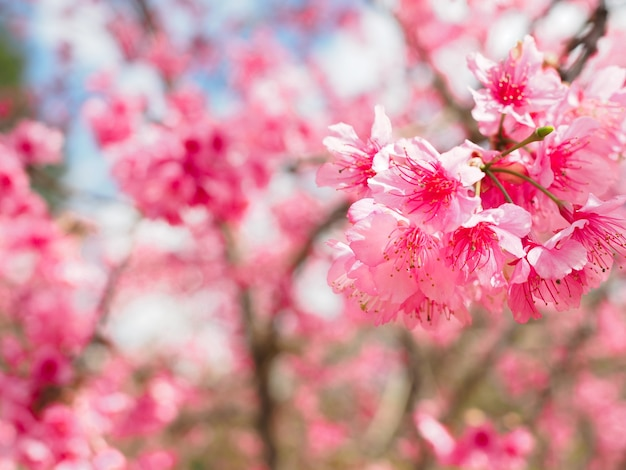 Pink Sakura Flower Bloom On Fresh And Glorious Day Of Vacation Time