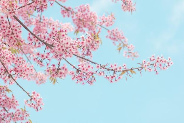 Pink sakura flower, cherry blossom, himalayan cherry blossom Premium Photo