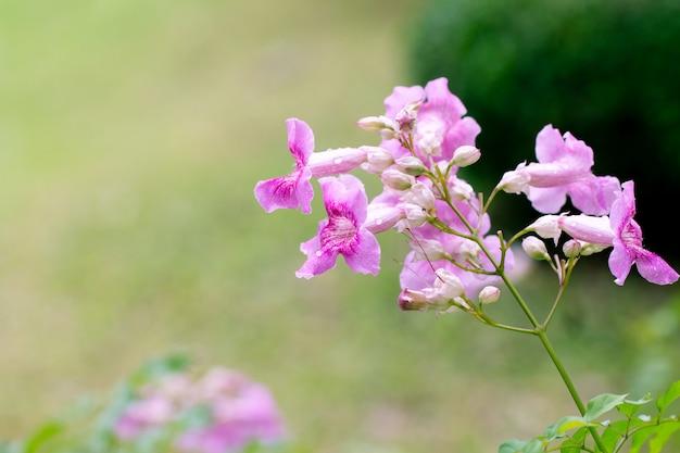 Pink trumpet vine or phodania. pink flower in the garden Premium Photo