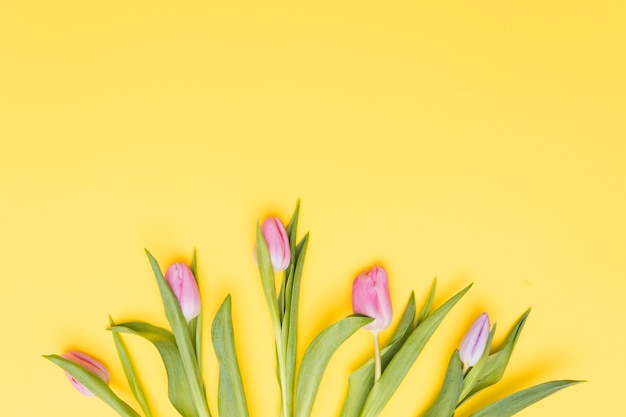 Pink tulip flowers on yellow background Free Photo
