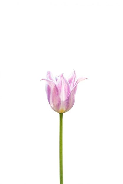 Розовый тюльпан на белом фоне Бесплатные Фотографии