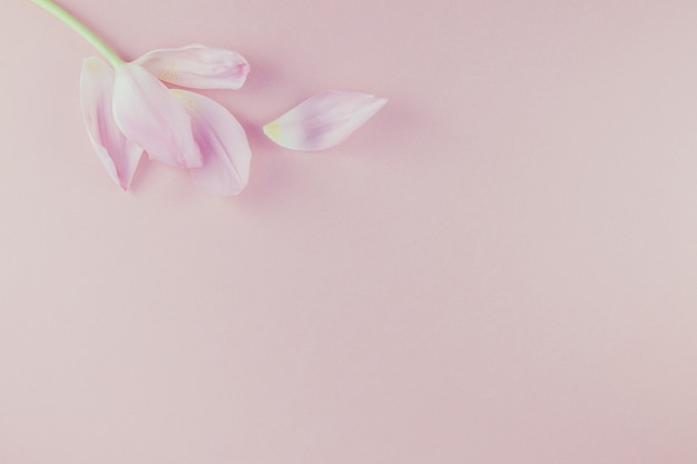 Pink tulip with petals on pink background flat lay Premium Photo