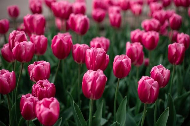 畑に咲くピンクのチューリップ 無料写真