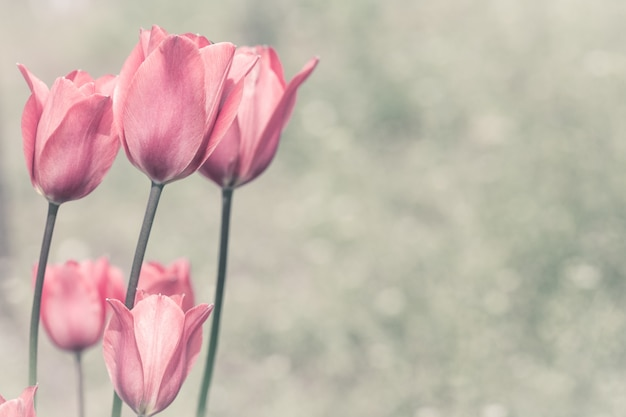 Pink tulips in a garden. Premium Photo