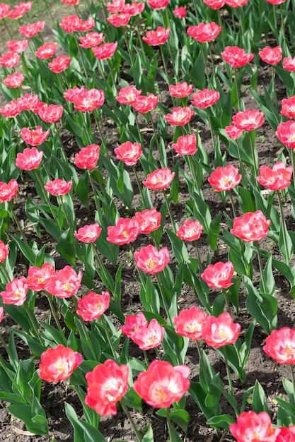 Pink tulips vertical Premium Photo