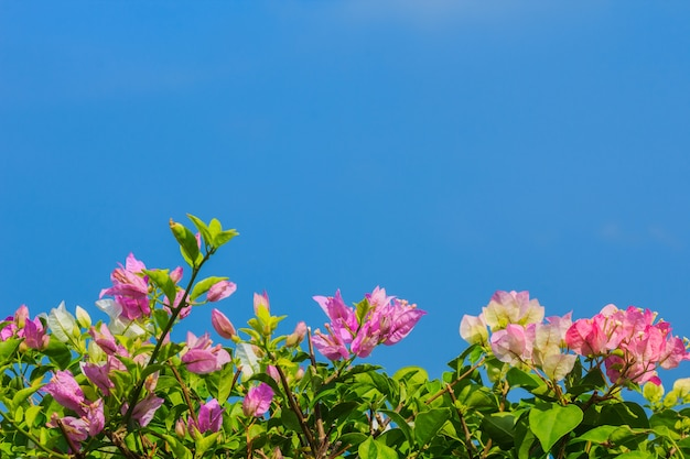 Pink and white blooming bougainvilleas against the blue sky in summer Premium Photo