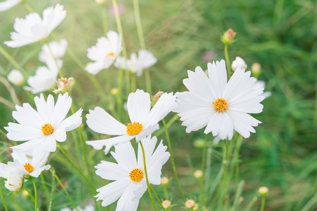 Pink And White Cosmos Flowers Garden Photo Premium Download